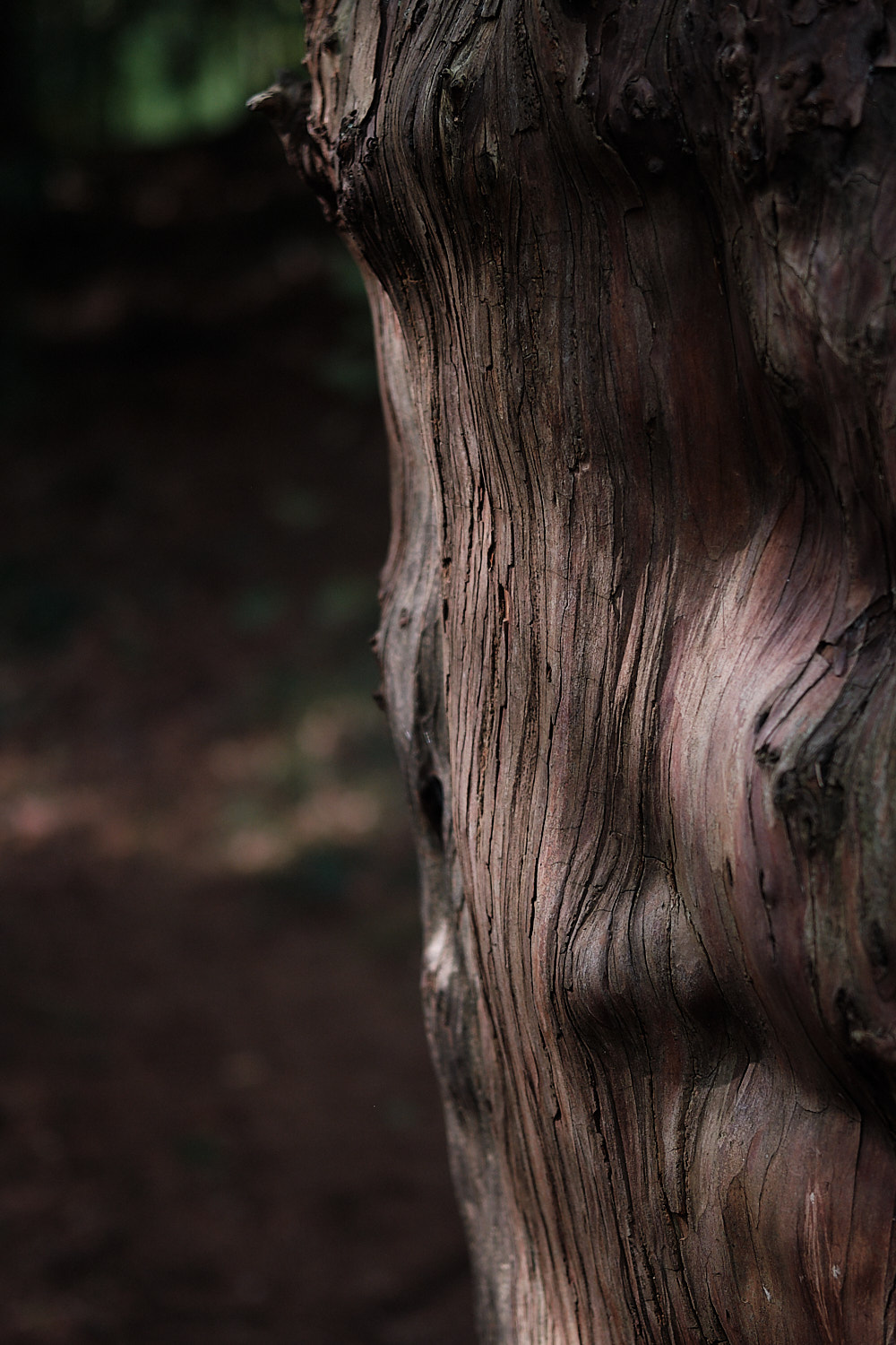 close up of a yew's wood