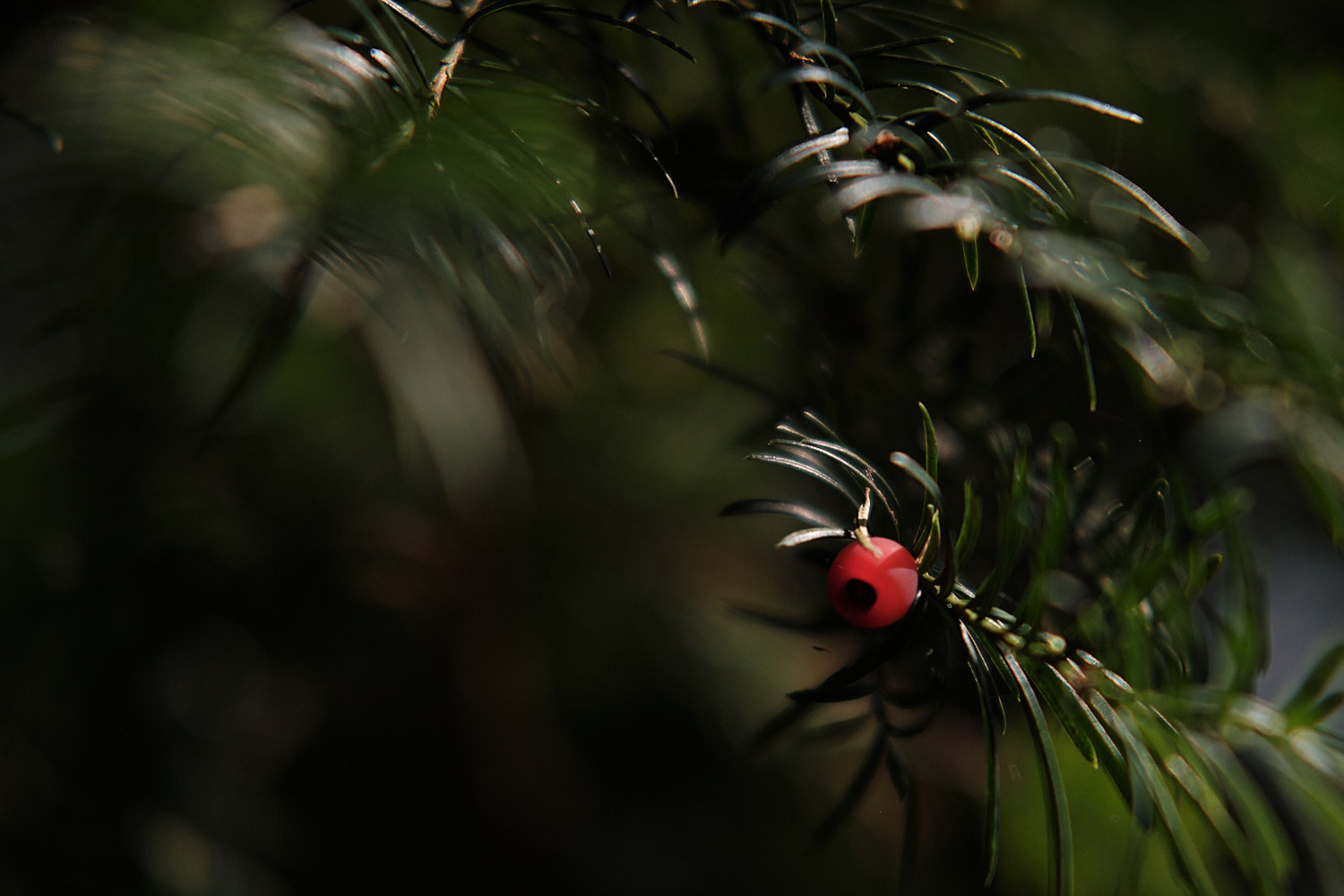 close up of a yew's berry