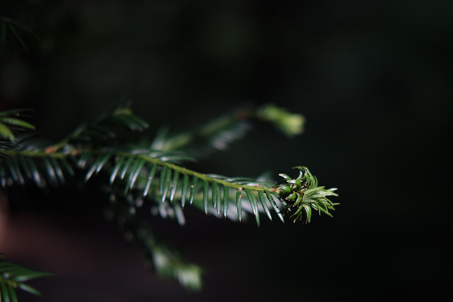 close up of a yew's leaf