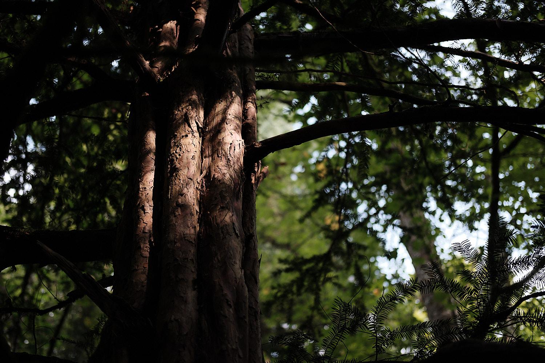 yew's wood