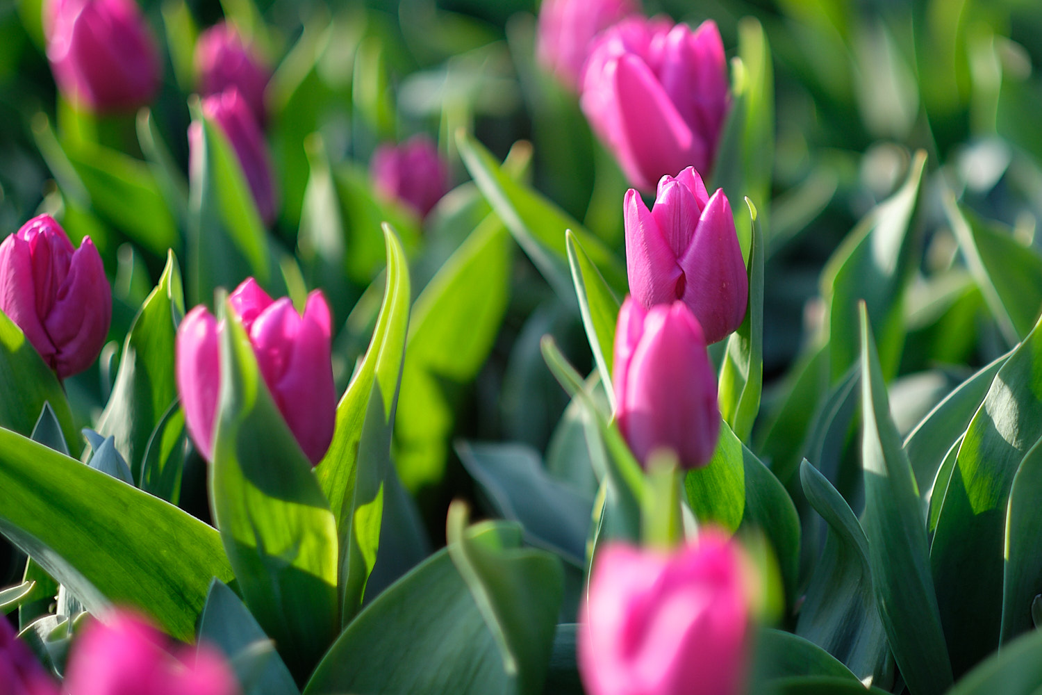 Pink tulips in Keukenhof, Holland, The Netherlands