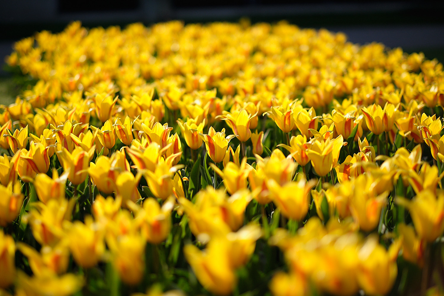 Yellow tulips in Keukenhof, Holland, The Netherlands