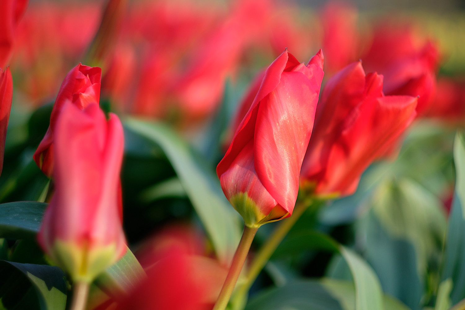 Red tulips in Keukenhof, Holland, The Netherlands