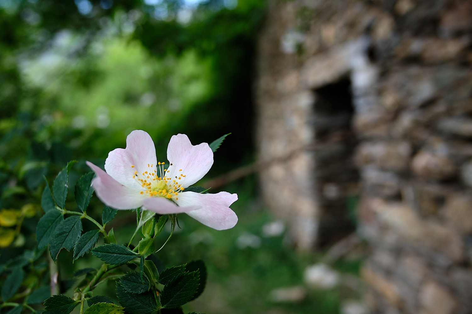 flower in close with ruins in the background up at Saraís (ghost town), Vall de Boí, Pyrenees, Spain