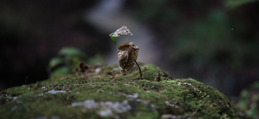 close up of a sapling growing atop a mosy boulder