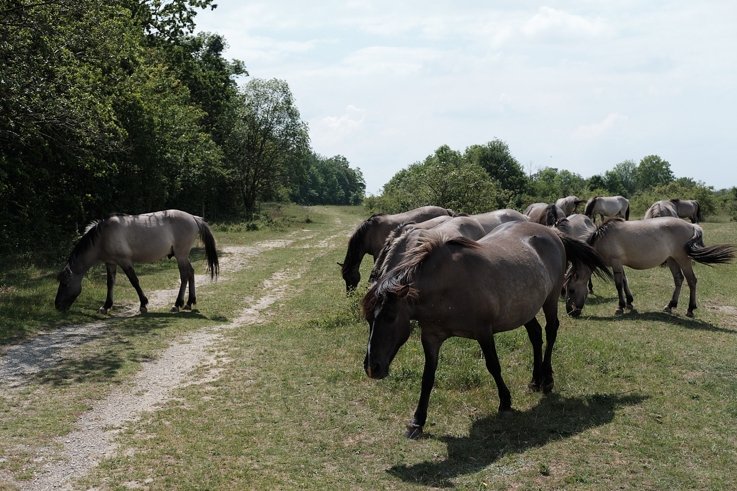Freyburg, unused old east Germany army tank training grounds now home of grazing free horses