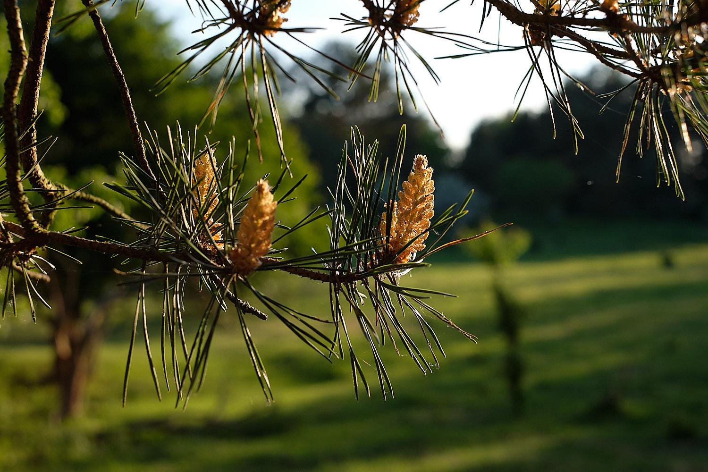 Pine tree blossom closeup